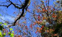 Rừng lá phong cực đẹp tại Vườn quốc gia Bidoup - Núi Bà - Đà Lạt